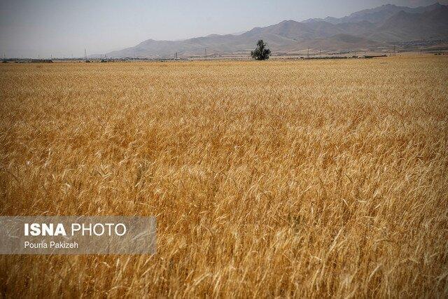پیش بینی فراوری 900 هزار تن گندم در آذربایجان شرقی