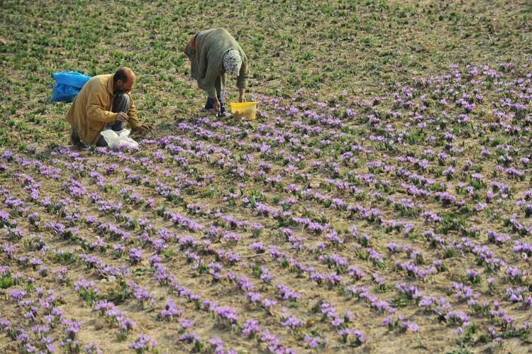 ایجاد زنجیره تولید گیاهان دارویی